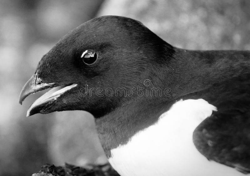 Portrait of dovekey, black and white retro style. Portrait of dovekey (Plautus alle) - one of most Northern of world's birds, black and white retro style. Such royalty free stock photography