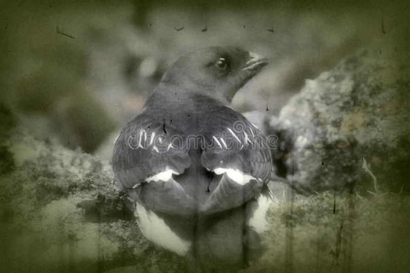 Portrait of dovekey, black and white retro style. Portrait of dovekey (Plautus alle) - one of most Northern of world's birds, black and white retro style. Such stock images