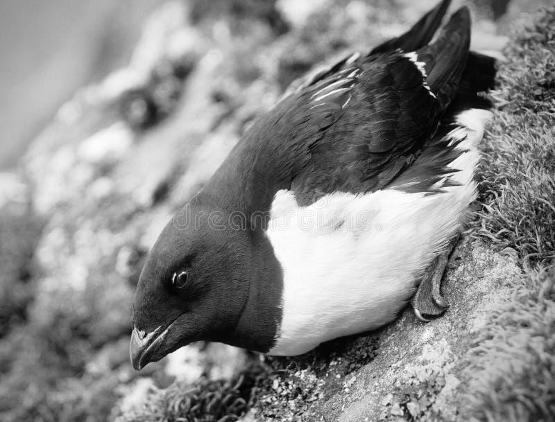 Portrait of dovekey, black and white retro style. Portrait of dovekey (Plautus alle) - one of most Northern of world's birds, black and white retro style. Such royalty free stock image