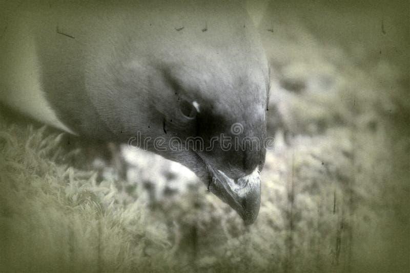 Portrait of dovekey, black and white retro style royalty free stock photo