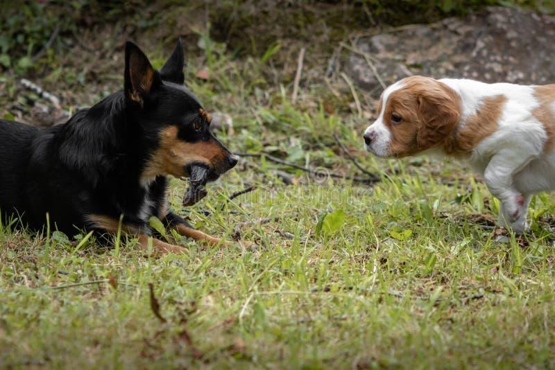 Portrait drôle d'un chien noir avec une souris dans sa bouche, se reposant dans l'herbe, et un chien d'épagneul de Bretagne de bé images libres de droits