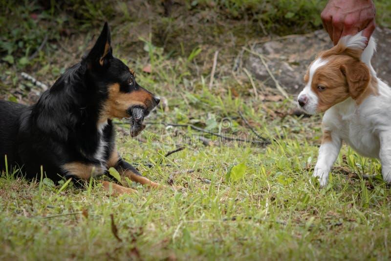 Portrait drôle d'un chien noir avec une souris dans sa bouche, se reposant dans l'herbe, et un chien d'épagneul de Bretagne de bé photo libre de droits