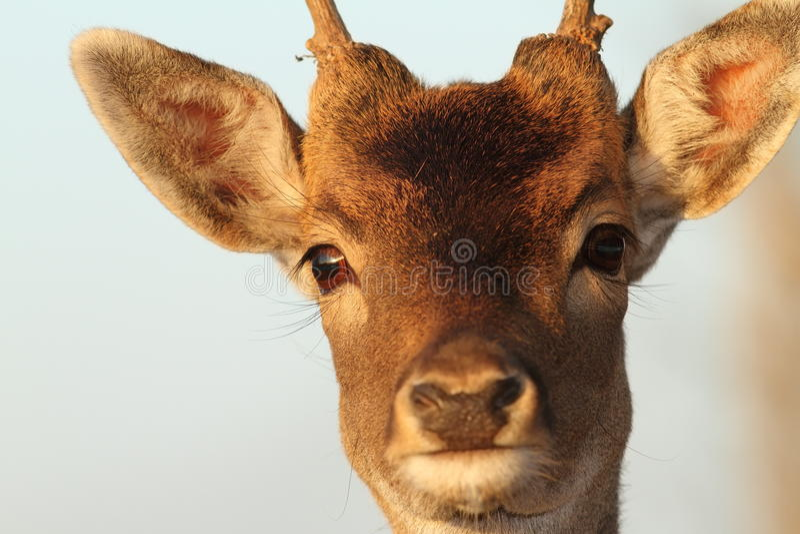 Portrait drôle de mâle de cerfs communs image libre de droits
