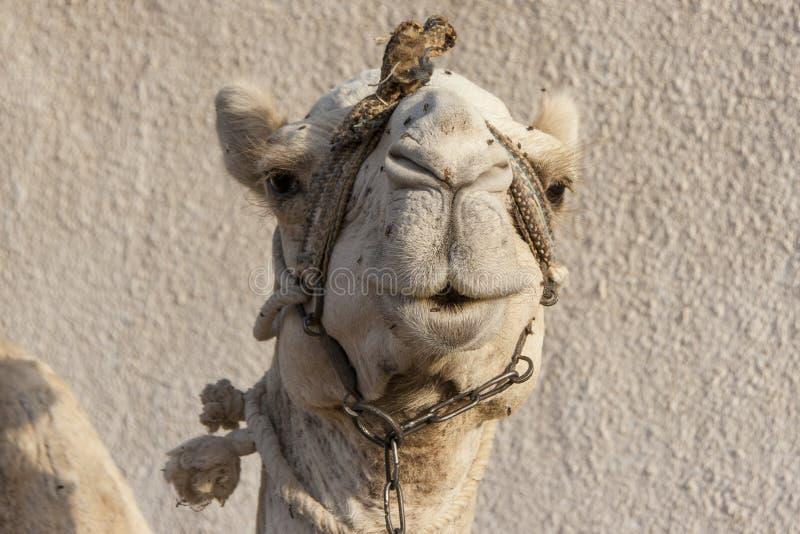 Portrait of a dromedary camel with head collar. Head shot of a dromedary camel with a head collar in Dahab, Egypt royalty free stock photos