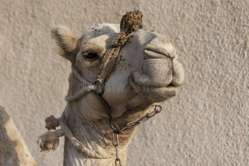 Portrait of a dromedary camel with head collar. Head shot of a dromedary camel with a head collar in Dahab, Egypt stock photos