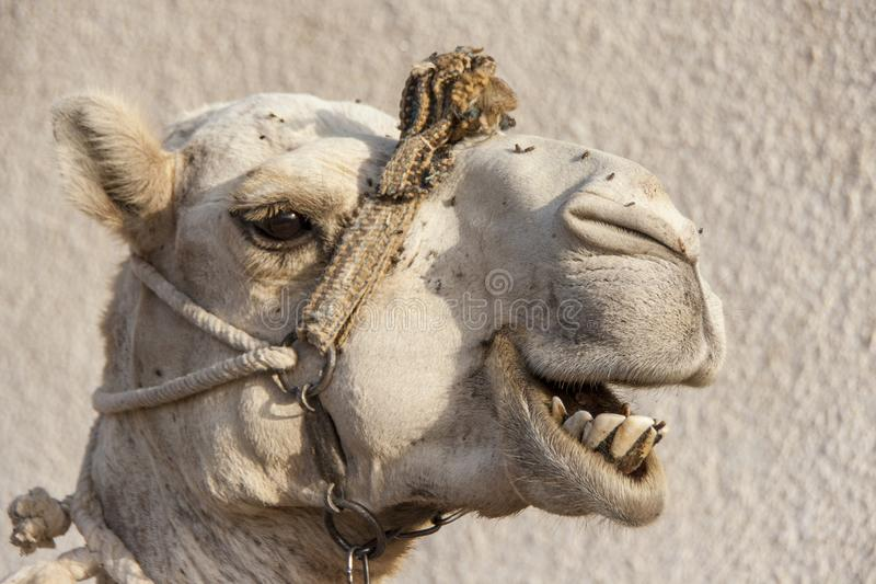 Portrait of a dromedary camel with head collar. Head shot of a dromedary camel with a head collar in Dahab, Egypt royalty free stock image