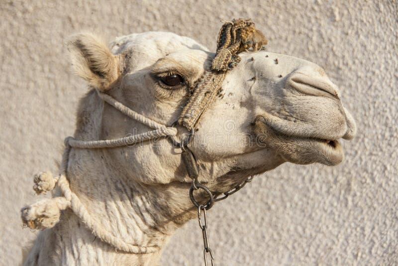Portrait of a dromedary camel with head collar. Head shot of a dromedary camel with a head collar in Dahab, Egypt stock photography
