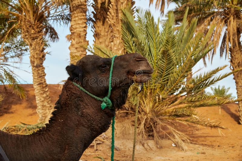 A portrait a of a dromedary camel royalty free stock images