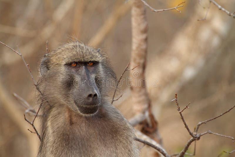 Portrait du babouin de Chacma masculin en parc de Kruger photos libres de droits
