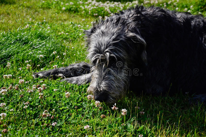 Portrait du beau chien de chien-loup irlandais posant dans le jardin Crabot se situant dans l'herbe photographie stock libre de droits