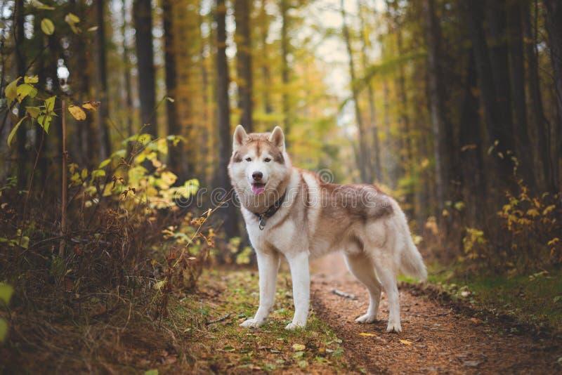 Portrait du beau chien de chien de traîneau sibérien se tenant dans la forêt enchanteresse lumineuse de chute images stock