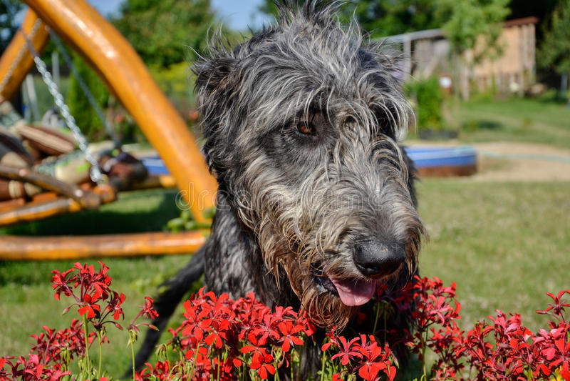 Portrait du beau chien gris de chien-loup irlandais posant dans le jardin Chien gris et noir heureux se reposant sur l'herbe au p photo libre de droits