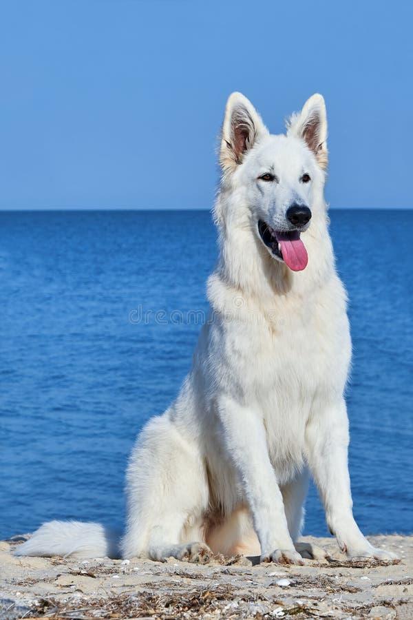 Portrait du berger suisse blanc Dog image libre de droits