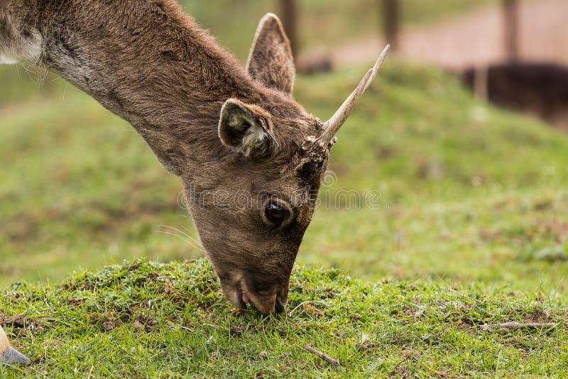 Portrait du cerf en jachère dans le profil, manger de l'herbe, fermer photographie stock