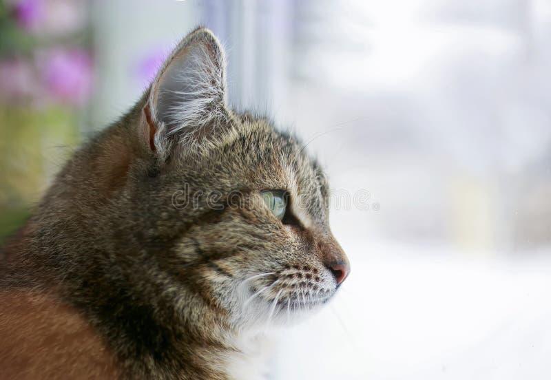 Portrait du chat énervé mignon se reposant sur la fenêtre et regardant la rue dans la distance images stock