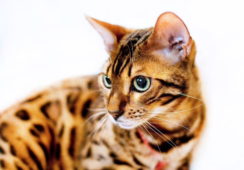 Portrait du chat bengal pubéré sur fond clair images stock