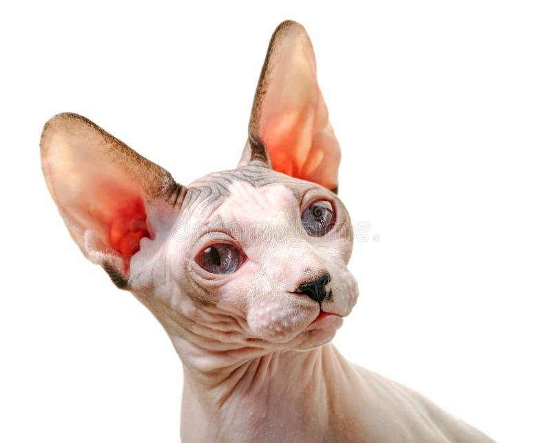 Portrait du chat canadien Sphynx avec un virage gracieux de la tête isolé sur fond blanc image libre de droits