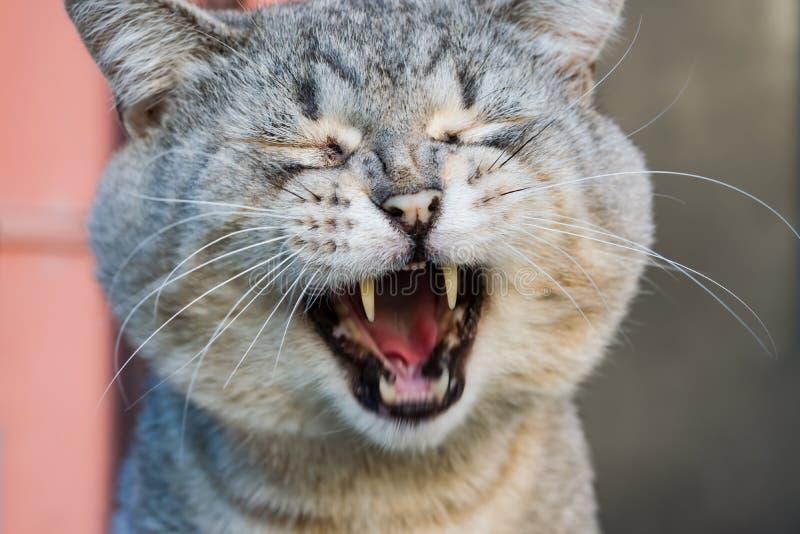 Portrait du chat domestique gris qui baîlle images stock