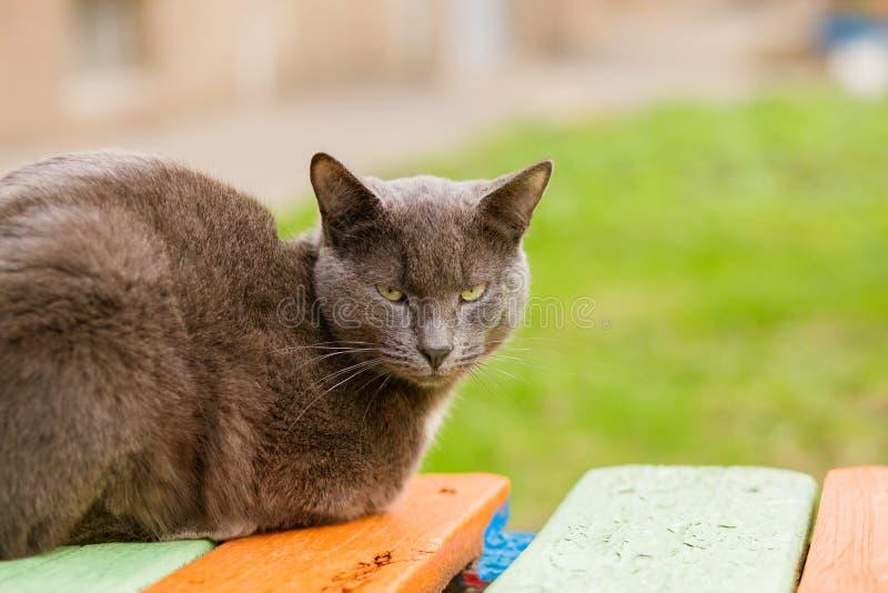 Portrait du chat indifférent gris regardant l'appareil-photo photographie stock libre de droits