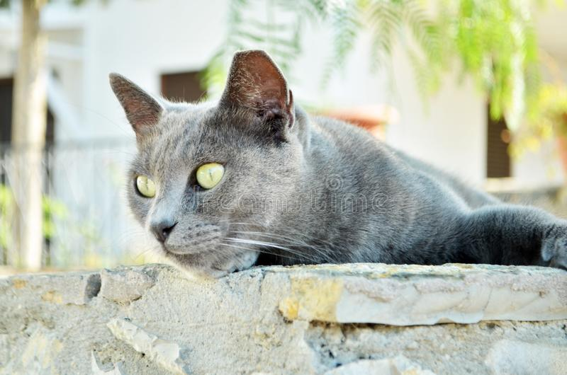 portrait du chat siamois photographie stock libre de droits