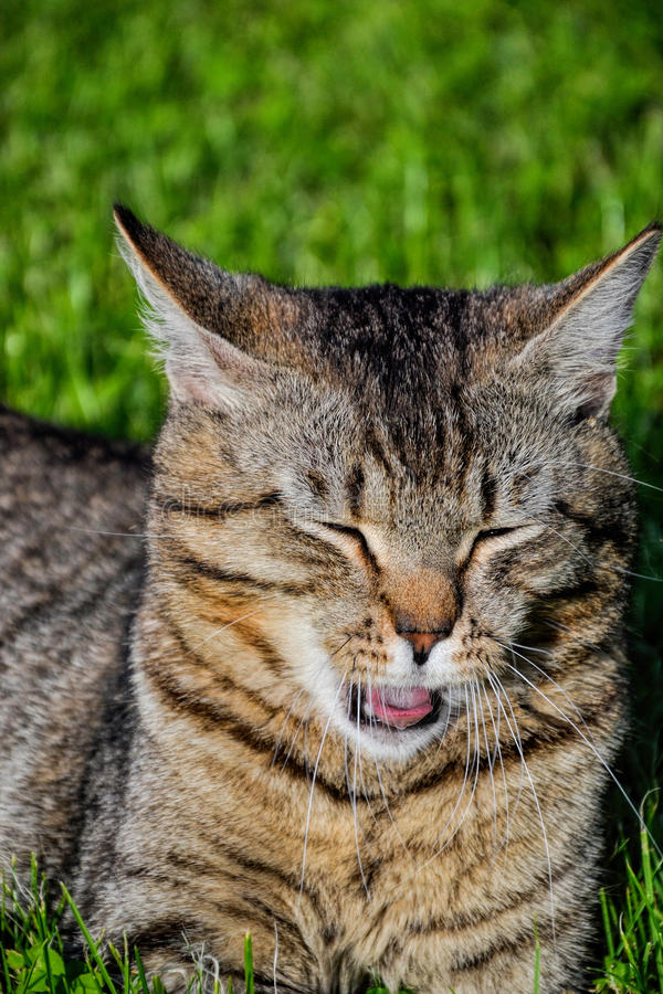 Portrait du chat tigré aux cheveux courts domestique se situant dans l'herbe Tomcat détendant dans le jardin image libre de droits