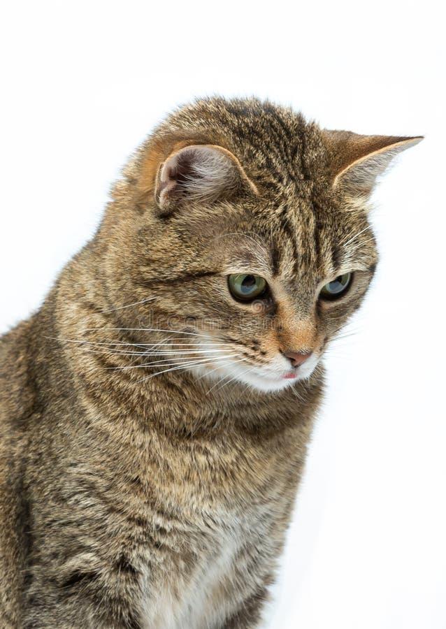 Portrait du chaton européen mignon d'isolement sur le fond blanc, portrait animal image stock