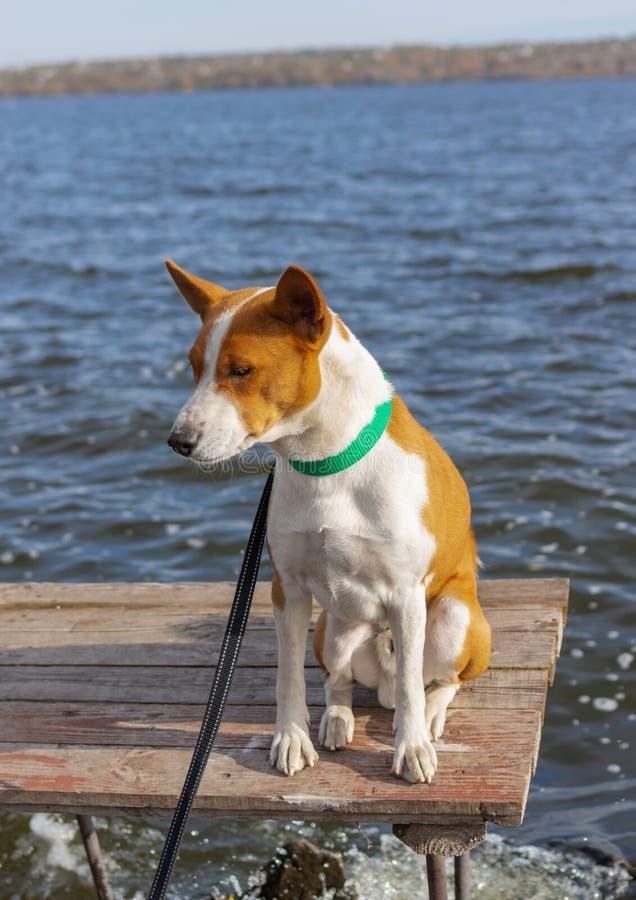 Portrait du chien courageux et curieux de Basenji se reposant et détendant sur la table en bois de pêcheurs photo libre de droits