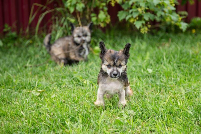 Portrait du chien crêté chinois de race chauve de chiot se tenant dans l'herbe verte le jour d'été photo stock