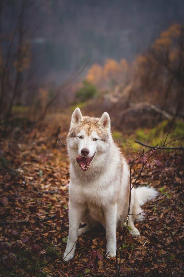 Portrait du chien de traîneau sibérien de race humide magnifique de chien se reposant vers la fin de la forêt d'automne le jour p photographie stock