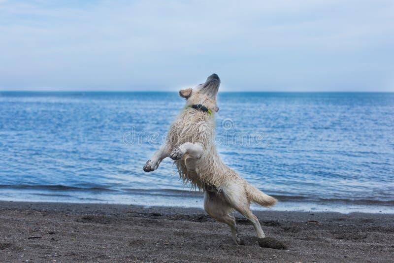 portrait-du-chien-dr%C3%B4le-et-enthousiaste-de-golden-retriever-sautant-sur-la-plage-124487865.jpg