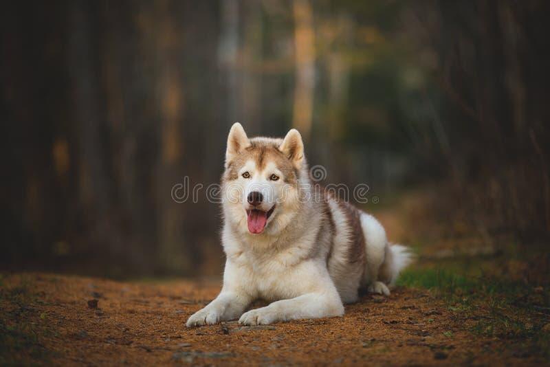 Portrait du chien enroué sibérien magnifique et libre se situant dans la forêt enchanteresse lumineuse de chute photos stock