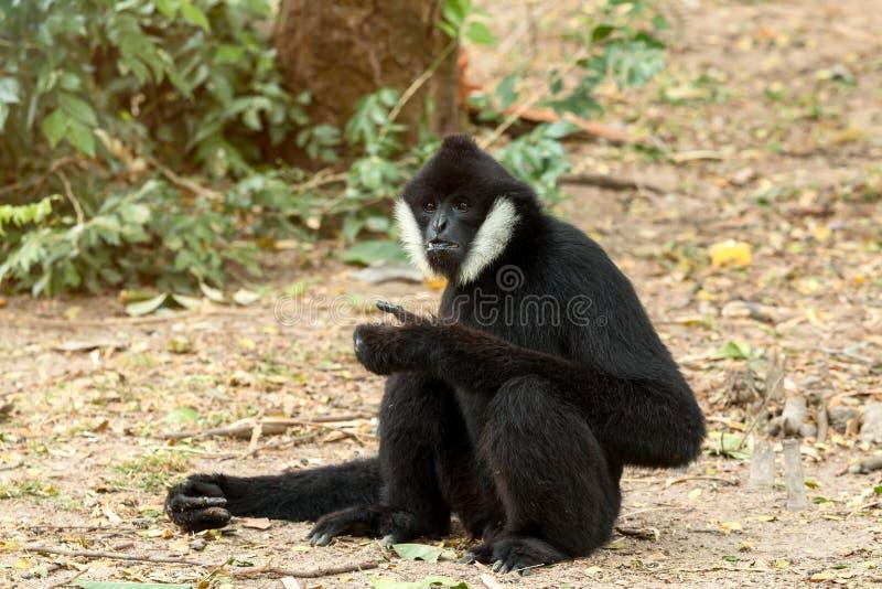 Portrait du gibbon blanc-cheeked de gibbon noir reposant et trouvant la nourriture image libre de droits
