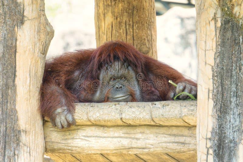 Portrait du grand orang-outan mignon regardant à la caméra et au sourire Le singe rouge brun sauvage, orang-outan trouvé dans des photo libre de droits