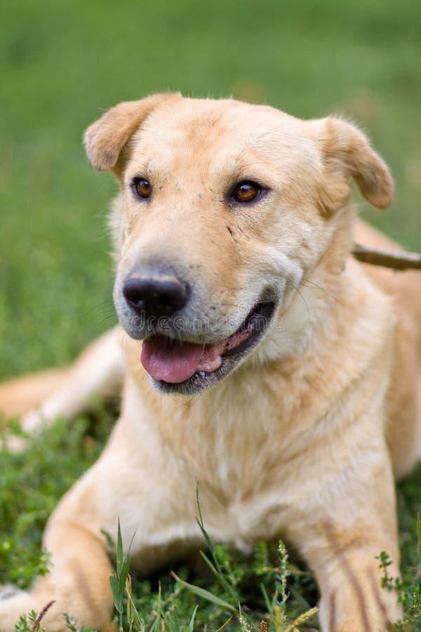 Portrait du grand vieux chien pâle fatigué se reposant sur l'herbe extérieure image stock