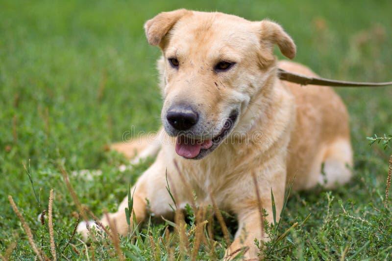 Portrait du grand vieux chien pâle fatigué se reposant sur l'herbe extérieure photos libres de droits