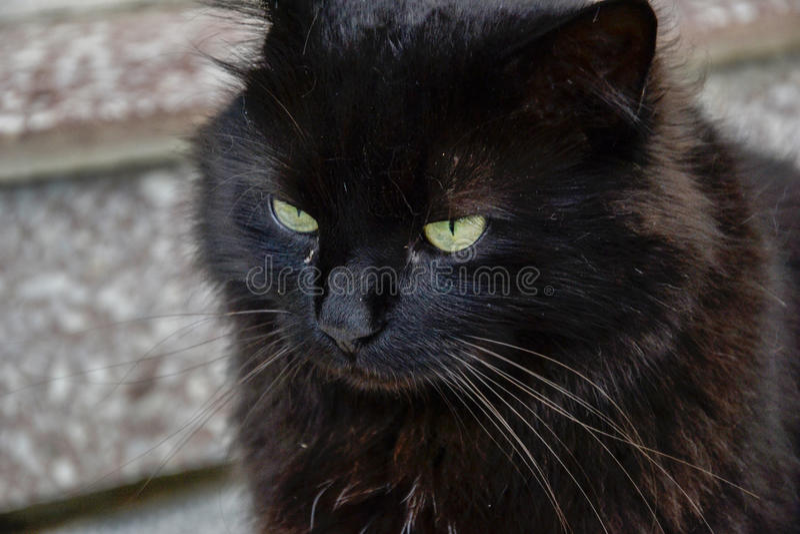 Portrait du long chat épais de Chantilly Tiffany de noir de cheveux détendant dans le jardin Plan rapproché de gros chat avec de  photo libre de droits