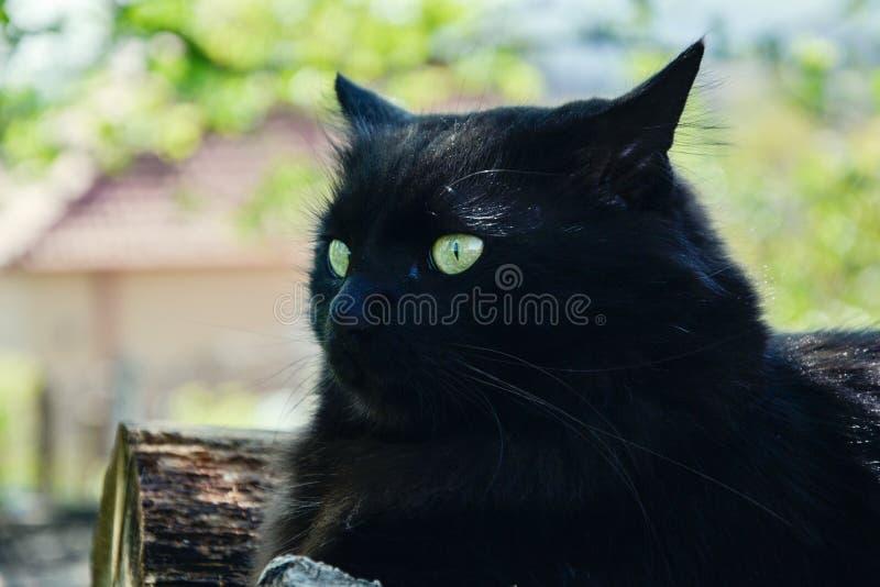 Portrait du long chat épais de Chantilly Tiffany de noir de cheveux détendant dans le jardin sur les rondins en bois Fermez-vous  photographie stock libre de droits