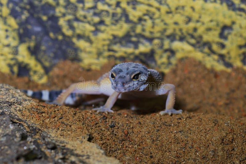 Portrait du macularius d'Eublepharis de gecko de léopard sur le sable photographie stock