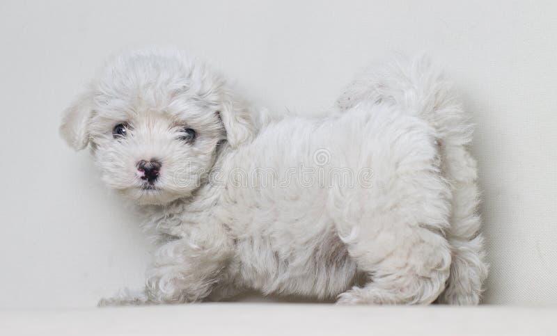 Portrait du plein chiot de chien maltais de corps d'isolement sur le fond blanc photos libres de droits