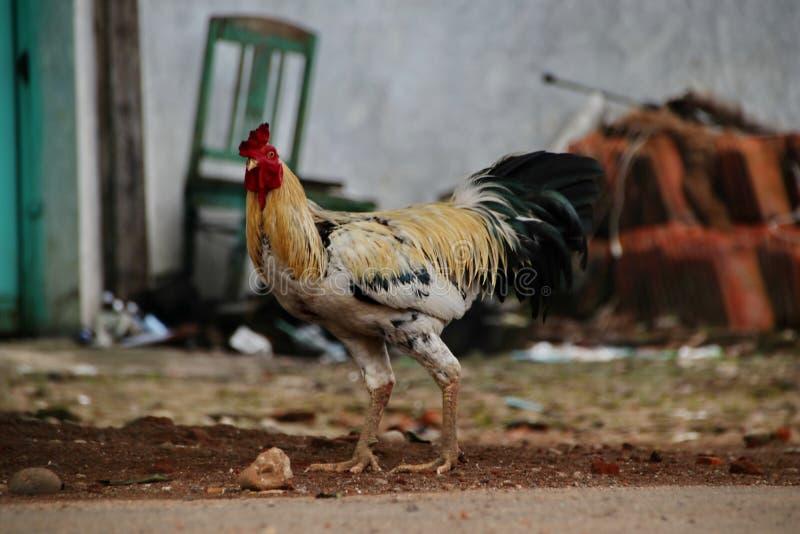 Portrait du poulet Javanese Jago, qui forage image stock
