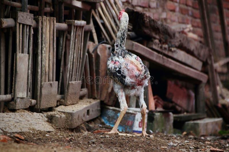 Portrait du poulet Javanese Jago, qui forage photographie stock libre de droits