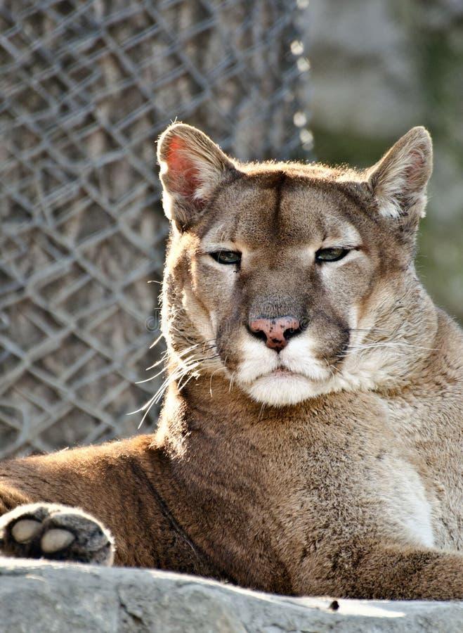 Portrait du puma sauvage images stock