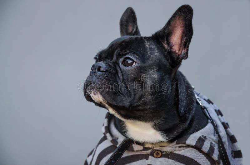 Portrait du regard sérieux, triste, fatigué noir de chiot jeune frenc image stock