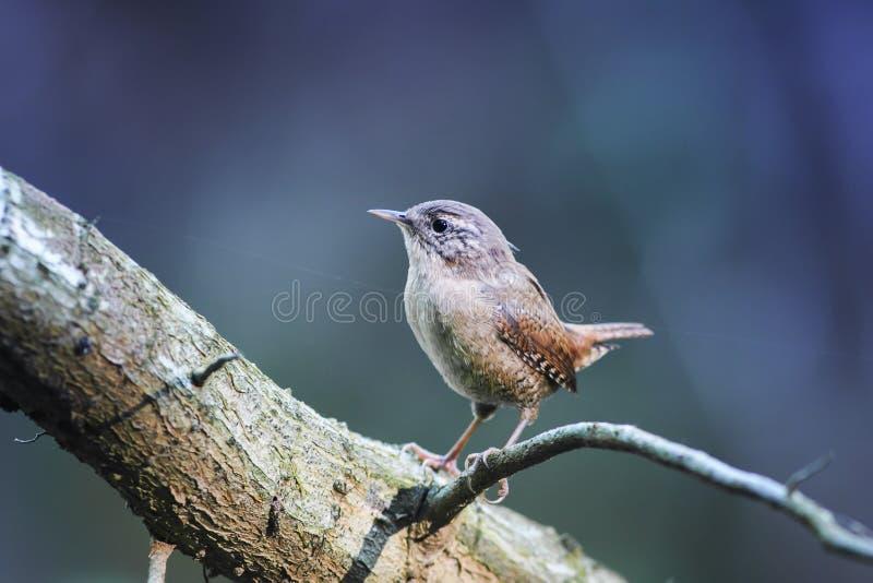 Portrait du roitelet drôle brun mignon d'oiseau se tenant en parc sur un t images libres de droits