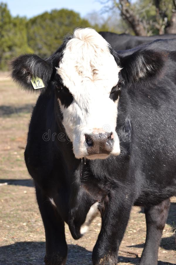 Portrait du visage d'une vache noire à Hereford images stock