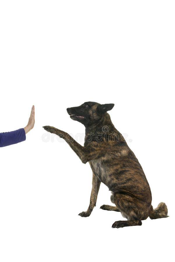 Portrait of a Dutch Shepherd dog, brindle coloring, isolated on a white background seen from aside doing a high five stock images