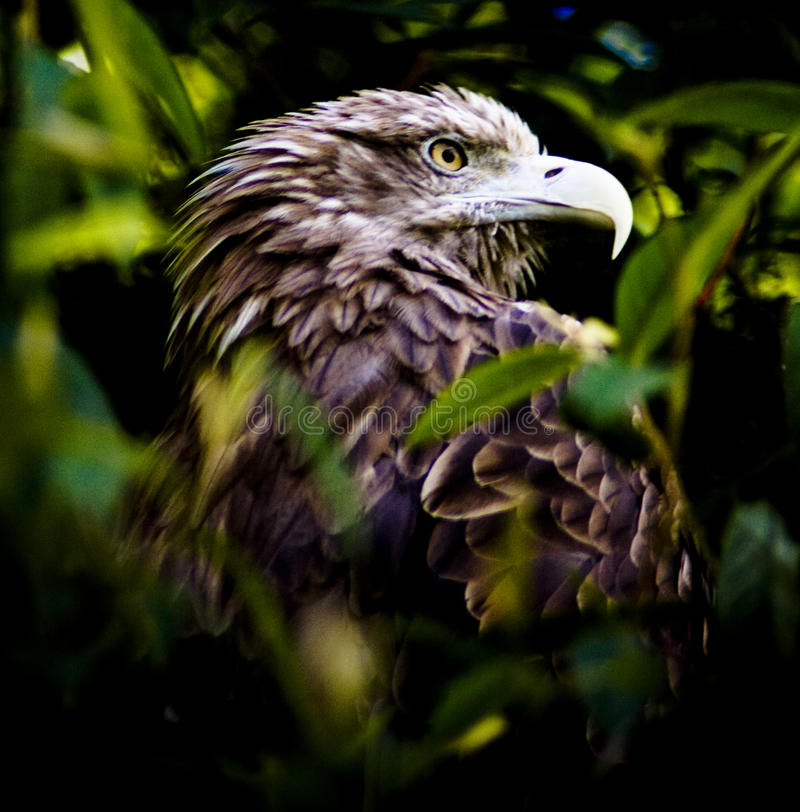 Portrait of eagle royalty free stock images