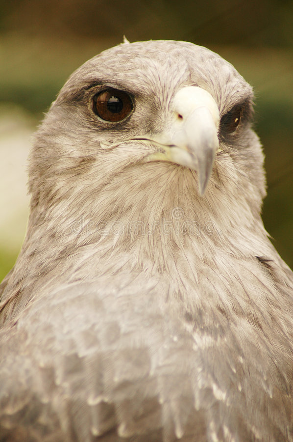 Download Portrait Of An Eagle Royalty Free Stock Photos - Image: 191618