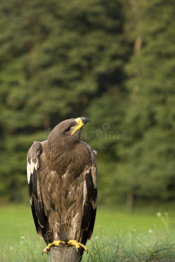Portrait of eagle royalty free stock photo