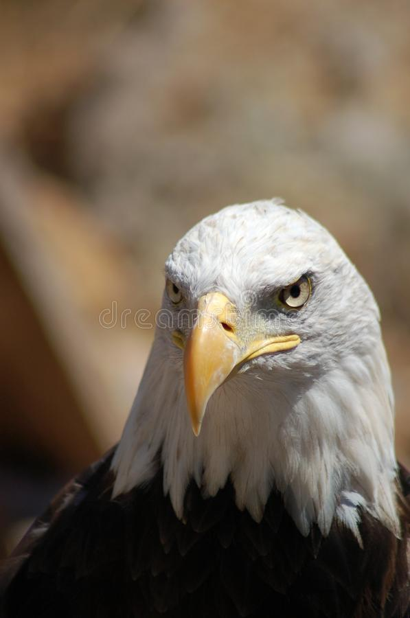 Portrait of eagle royalty free stock image
